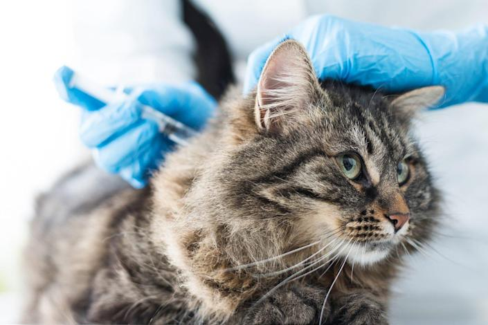 tabby cat at the vet getting their rabies vaccine