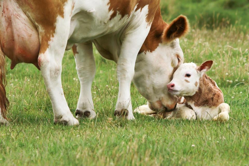 mother cow with her calf, cow photos
