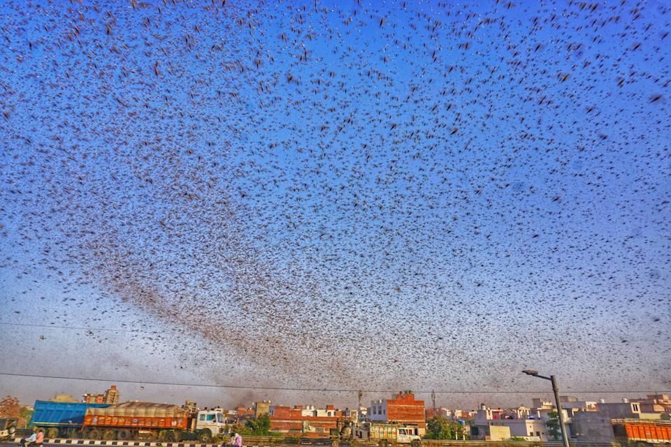 Swarms of locust attack in the residential areas of Jaipur, Rajasthan, Monday, May 25, 2020. More than half of Rajasthans 33 districts are affected by invasion by these crop-munching insects.(Photo by Vishal Bhatnagar/NurPhoto via Getty Images)