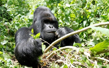 FILE PHOTO: An endangered silverback mountain gorilla feeds in Virunga National Park near Goma in eastern Democratic Republic of Congo, May 3, 2014. REUTERS/Kenny Katombe/File Photo