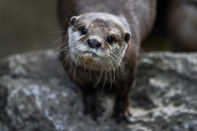 An otter during the annual weigh-in at ZSL London Zoo