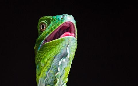 Close up of a juvenile green iguana - Credit: Getty Images