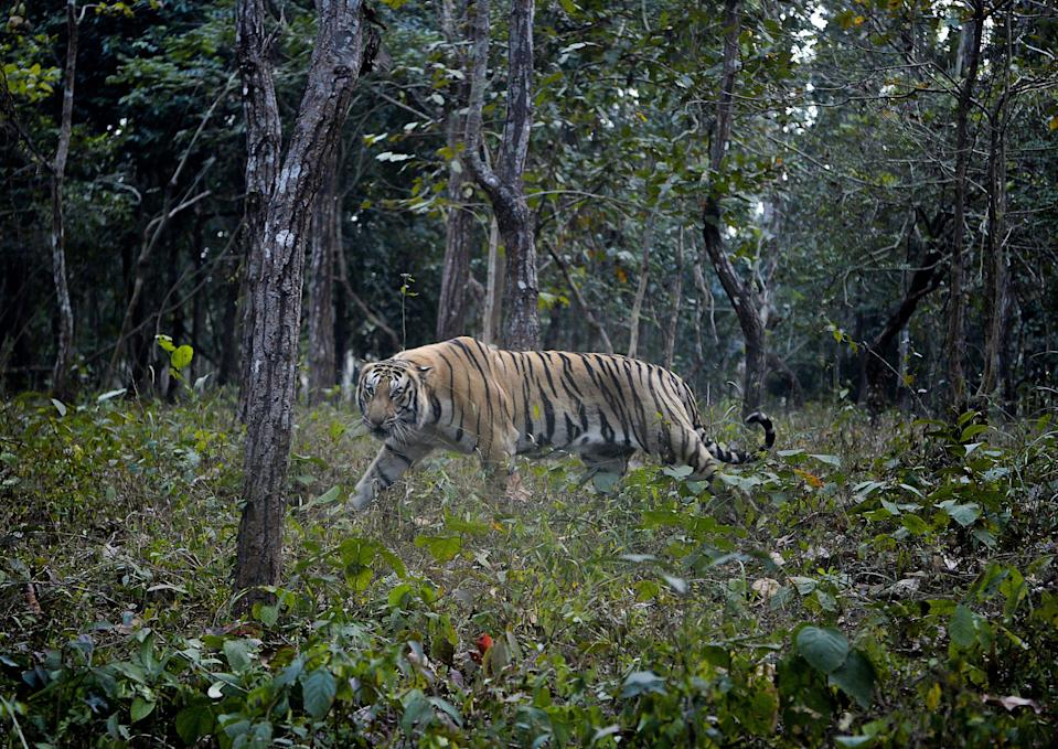 <p>File: An eight-year-old Bengal tiger lodged in Arunachal zoo attacks zoo worker after gates remain open</p> (AFP via Getty Images)