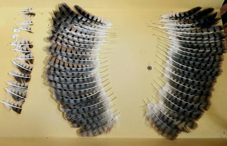 A set of feathers from a dead hawk ready to be grafted on to the wings of a mutilated hawk at an environment ministry veterinary clinic in San Salvador
