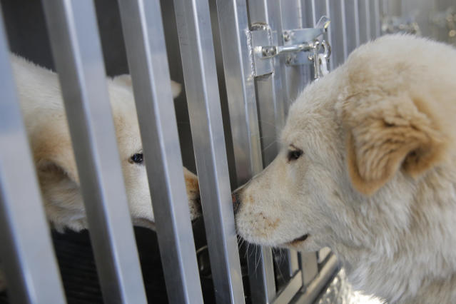 <p>Walter greets a fellow dog on board Pittsburgh Aviation Animal Rescue Team's Disaster Relief and Transport Trailer, after both were rescued from a South Korean dog meat farm by Humane Society International (HSI) on Sunday, March 26, 2017, in New York. HSI reached an agreement with the farmers to permanently close the farm and fly all the dogs to the United States for adoption. This is the seventh dog meat farm the organization has closed in South Korea so far, saving more than 800 dogs as part of its campaign across Asia to end the killing of dogs for consumption. (Andrew Kelly/AP Images for Humane Society International) </p>