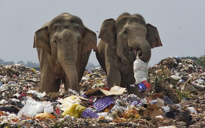 The herd, which numbers just under 40, has turned to rooting through the rubbish dump - Tharmaplan Tilaxan/Cover Images