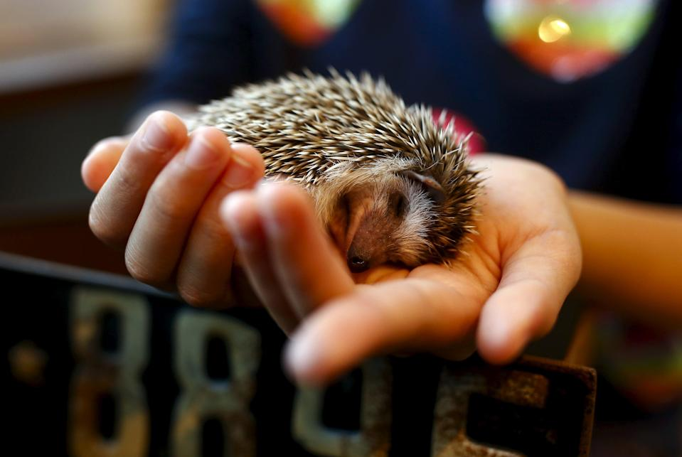 A woman holds a hedgehog at the Harry hedgehog cafe in Tokyo, Japan, April 5, 2016. In a new animal-themed cafe, 20 to 30 hedgehogs of different breeds scrabble and snooze in glass tanks in Tokyo's Roppongi entertainment district. Customers have been queuing to play with the prickly mammals, which have long been sold in Japan as pets. The cafe's name Harry alludes to the Japanese word for hedgehog, harinezumi. REUTERS/Thomas Peter