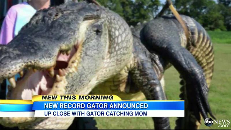 A gator weighing more than 700 pounds sets new record at annual event.