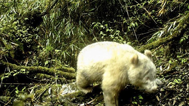 Chinese nature reserve releases world's first image of an albino giant panda in the wild