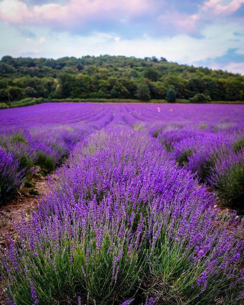 """<p>The UK's largest producer of lavender oil products, Castle Farm is based near the pretty village of Shoreham in North Kent. Expect to see over 130 acres of the fragrant purple flower, plus a well-stocked shop. </p><p><a class=""""link rapid-noclick-resp"""" href=""""https://www.castlefarmkent.co.uk/"""" rel=""""nofollow noopener"""" target=""""_blank"""" data-ylk=""""slk:MORE INFO"""">MORE INFO</a> </p><p><a href=""""https://www.instagram.com/p/CNsVz5ilvFT/"""" rel=""""nofollow noopener"""" target=""""_blank"""" data-ylk=""""slk:See the original post on Instagram"""" class=""""link rapid-noclick-resp"""">See the original post on Instagram</a></p>"""