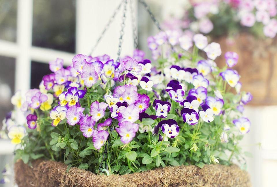 """<p>Pansies love cool weather, so plant them in the early spring and fall. They are great as a pot or border plant, and with proper care, can flower almost all year long, although bees may only visit in the warmer months.</p><p><a class=""""link rapid-noclick-resp"""" href=""""https://www.amazon.com/Seed-Needs-Giants-wittrockiana-Non-GMO/dp/B00RA1X6FS/?tag=syn-yahoo-20&ascsubtag=%5Bartid%7C10050.g.32157369%5Bsrc%7Cyahoo-us"""" rel=""""nofollow noopener"""" target=""""_blank"""" data-ylk=""""slk:SHOP NOW"""">SHOP NOW</a><br></p>"""