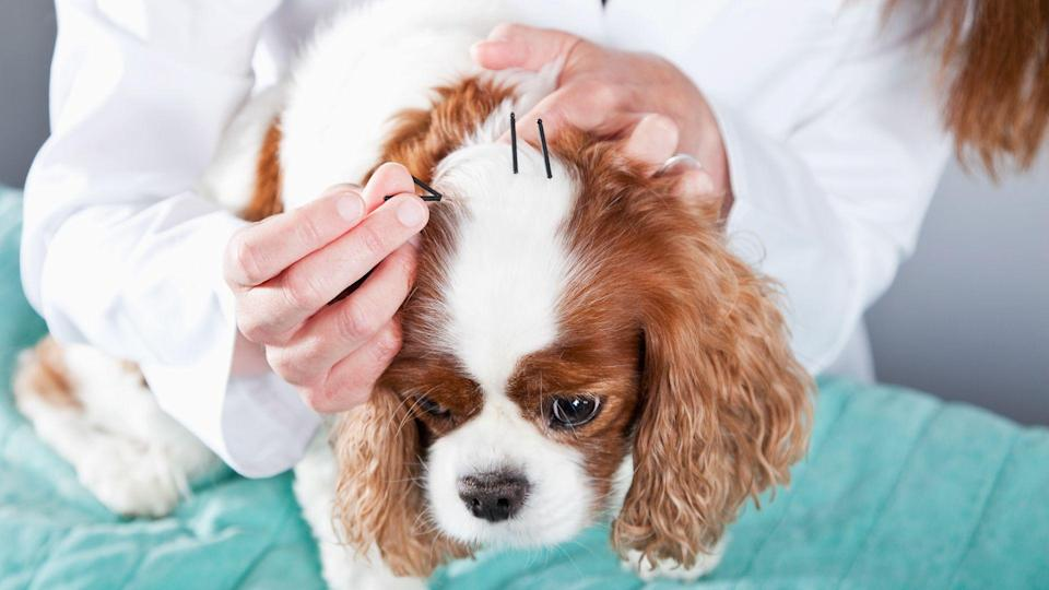 Cropped view of a female veterinarian treating a dog with acupuncture, placing needles in the skin on the top of his head.