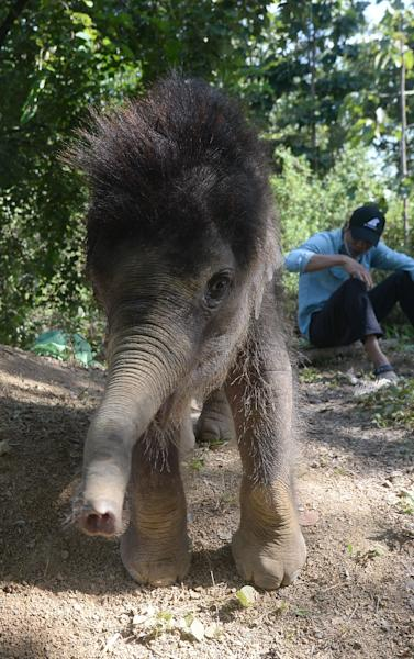 """One-year-old male elephant """"Gold"""" plays inside the Dak Lak Elephant Conservation Centre where he is being cared for in the central Vietnamese highland province of Dak Lak (AFP Photo/HOANG DINH NAM)"""