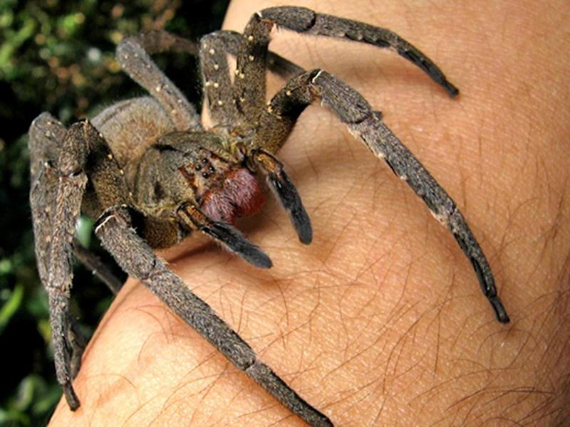 There have been reports the insects were Brazilian wandering spiders (pictured): João P. Burini/WikiMedia Commons