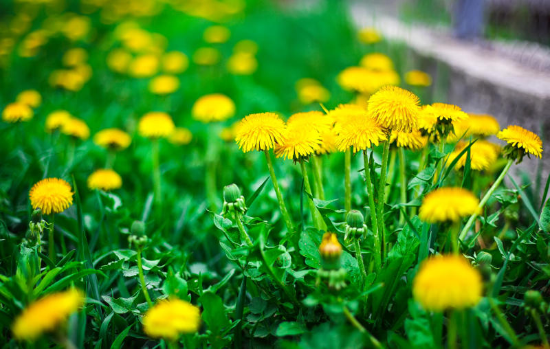 The woman's family has said that she was cutting dandelions for a salad when police used a Taser on her. (Pilat666 via Getty Images)