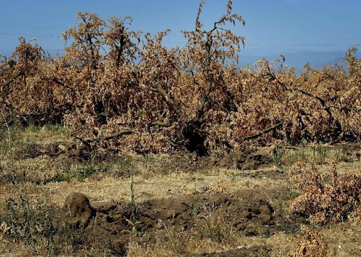 Dead plum trees that have been removed from the ground due to the lack of water in the drought-affected town of Monson, California on June 23, 2015 (AFP Photo/Mark Ralston)