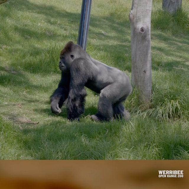 """<p>The gorillas at Zoos Victoria were such superfans of Michael Bublé's Christmas album that they listened to it year-round — so pre-pandemic, <a href=""""https://people.com/pets/michael-buble-singing-christmas-carols-zoo-gorillas/"""" rel=""""nofollow noopener"""" target=""""_blank"""" data-ylk=""""slk:the singer paid them a visit to give his biggest fan-imals an in-person concert"""" class=""""link rapid-noclick-resp"""">the singer paid them a visit to give his biggest fan-imals an in-person concert</a>.</p>"""