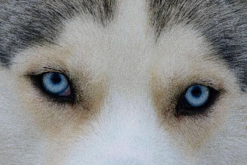 Intriguingly, a Siberian Husky that was dissected did not possess one of the two muscles that were present in other dog breeds, which pulls the corner of the eyelid toward the ears (AFP Photo/Mladen ANTONOV)