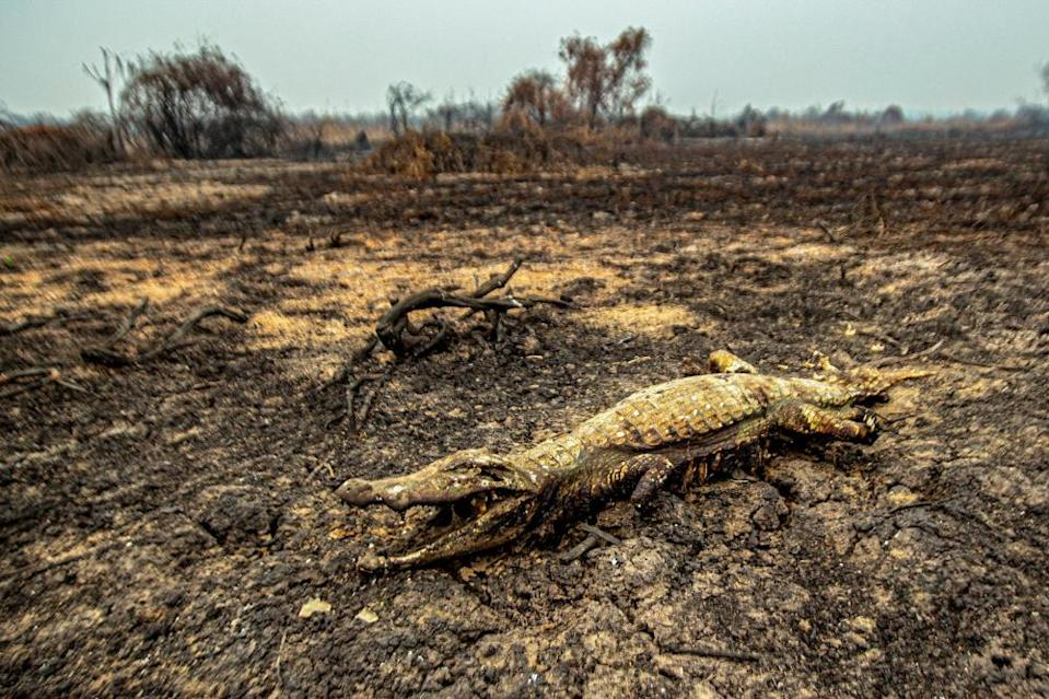 A dead crocodile in the town of Porto Jofre in Mato Grosso state, Brazil, after fires devastate the region.