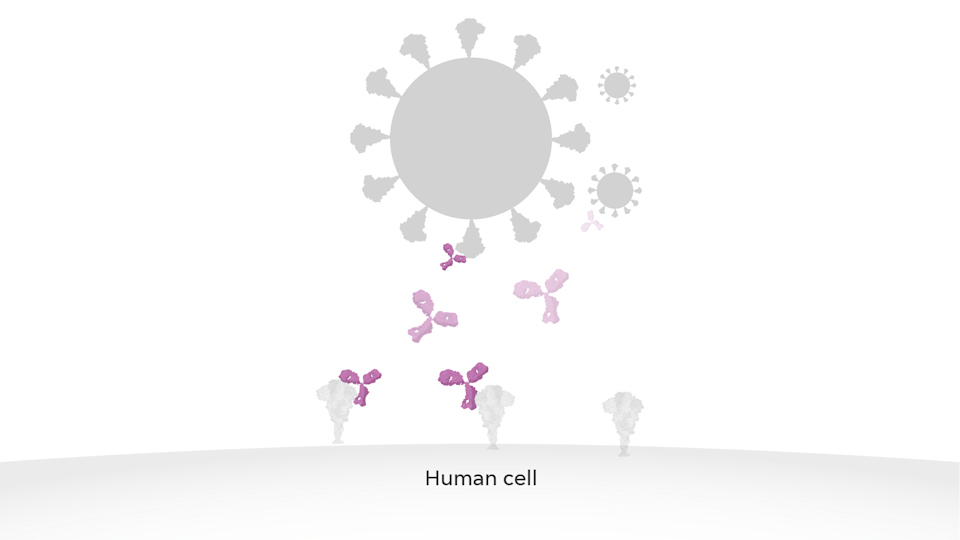 The COVID-19 vaccine relies on major breakthroughs by scientists such as Barney Graham at the National Institutes of Health and Jason McLellan at the University of Texas on how to precisely mimic the protein on a virus. The two vaccines now available to Americans, by Moderna and Pfizer, both depend on that advancement.