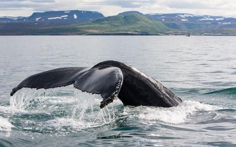 Whale Iceland - Credit: getty