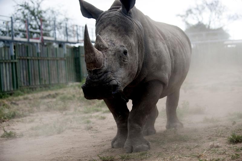 With the rhino poaching epidemic in South Africa only getting worse -- 2014 saw a record 1,215 rhino killed for their horn -- breeders say selling legally harvested horns could stifle the lucrative black market trade