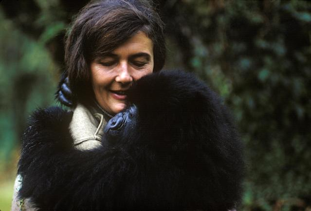 Dian Fossey holds a mountain gorilla that she nursed back to health. (Photo: Robert I.M. Campbell)