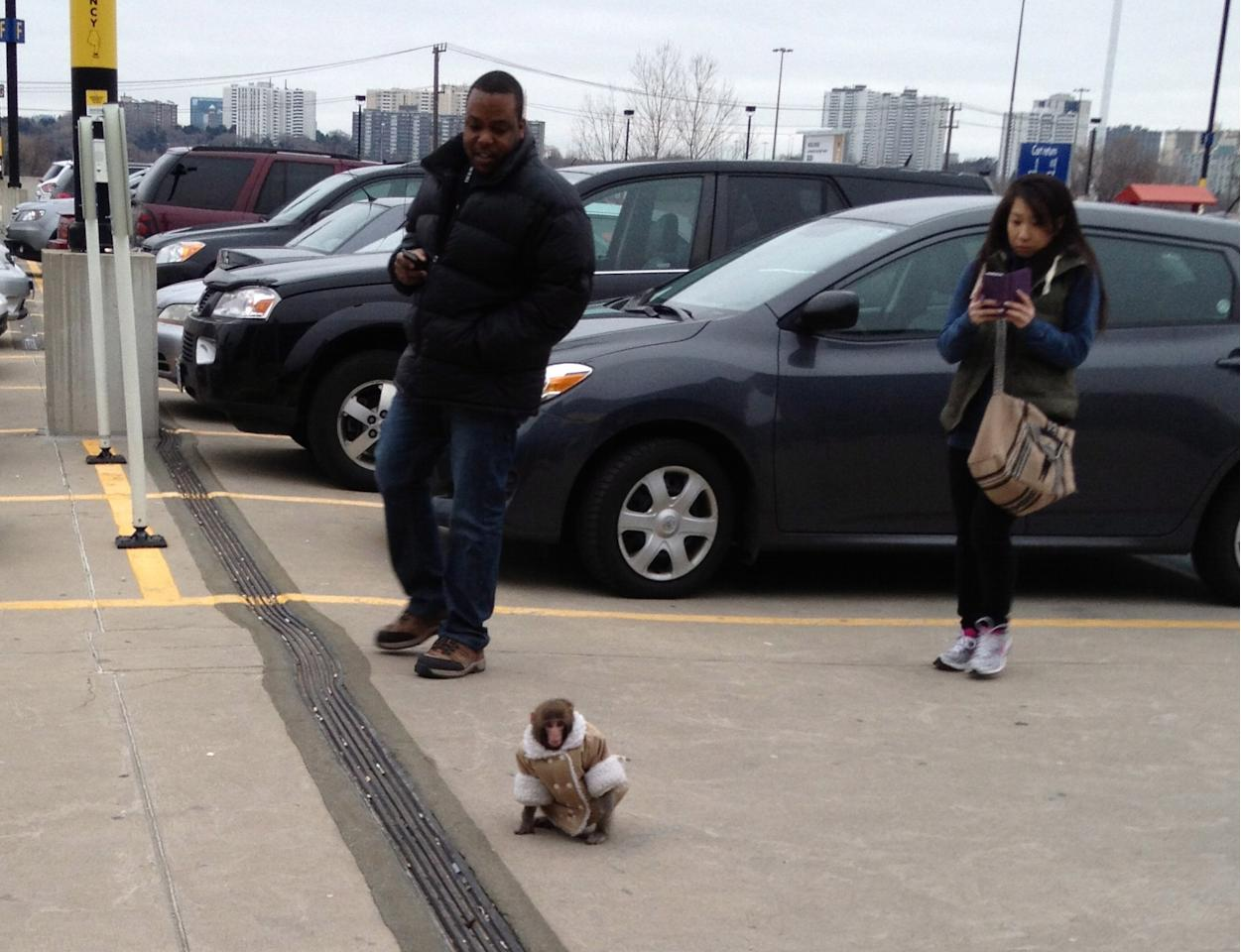 A small monkey wearing a winter coat and a diaper wanders around an IKEA parking lot in Toronto, as customers take pictures. The monkey let itself out of its crate in a parked car and went for a walk. The animal's owner contacted police later in the day and was reunited with their pet, police said. (AP Photo/Bronwyn Page via The Canadian Press)