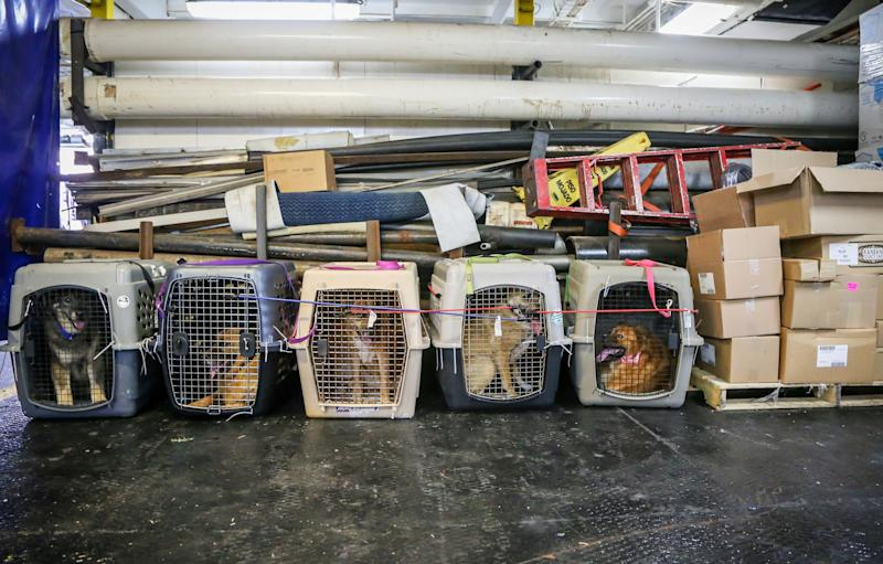 Dogs whose owners are missing or presumed dead are seen in the aftermath of Hurricane Dorian and Tropical Storm Humberto in the Bahamas in 2019. (Photo: ZAK BENNETT via Getty Images)