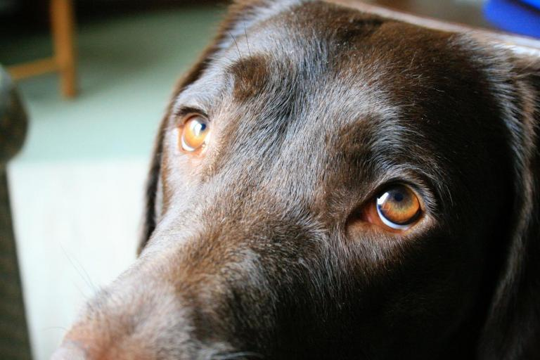 Dogs evolved their 'sad eyes' look to get on better with humans, scientists say