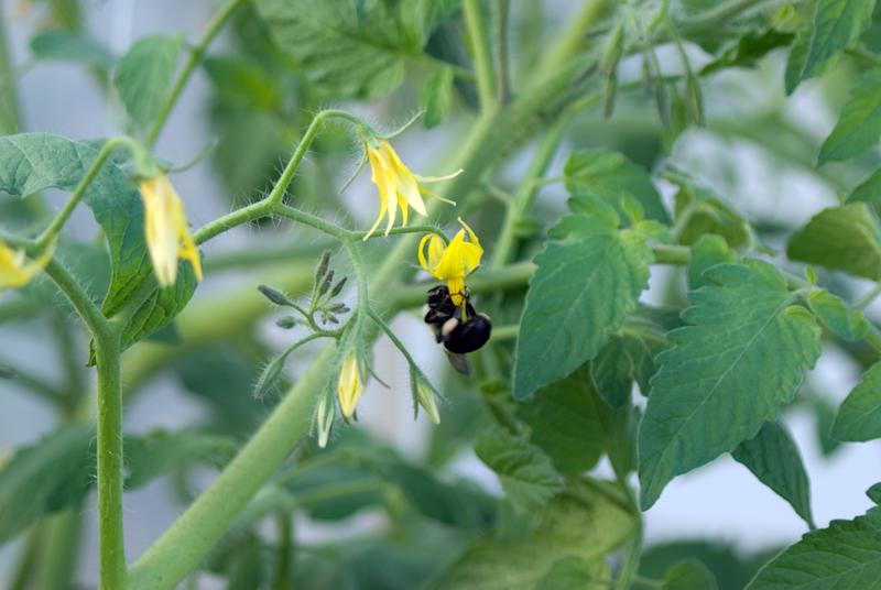 A bumble bee pollinates a tomato flower blossom in a hydroponic greenhouse operation. (Grape tomatoes.)Similar Images.