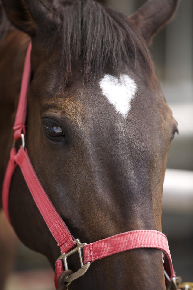 PIC BY JOE MOTOHASHI / CATERS NEWS - (PICTURED A horse with a heart shaped marking in its fur) With Valentines Day just around the corner its the time of year when love is in the air but as these pictures prove - its all over the earth too. These extraordinary images, taken by photographers across the globe, show Mother Nature is also gearing up to celebrate the big day with iconic heart shapes appearing all over the natural world. The charming pictures capture Mother Natures romantic side and feature several signs of love including an adorable fluffy penguin with a white heart emblazoned on its chest. Other natural displays include a flamingo creating a heart shape with its white and pink plumage and two swans which appear to kiss as they form a heart shape with their necks. SEE CATERS COPY