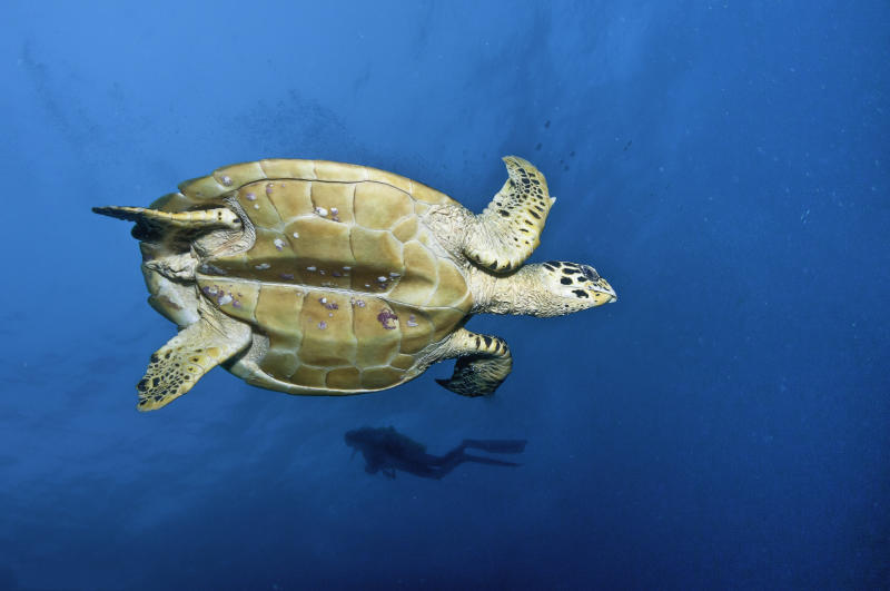 Hawkes billed turtle swimming to the surface to breath. diver in the background. Baa Atoll area, Maldives. Source: Getty