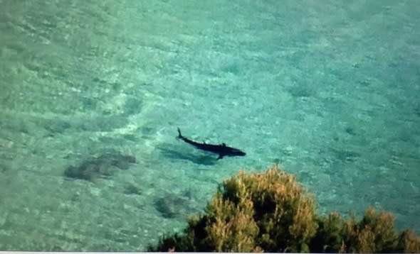 Is this a great white shark in Magaluf?