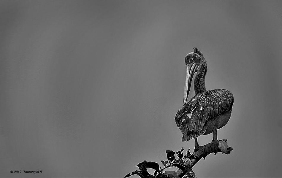 This Spot-billed Pelican preened as the shades of grey were becoming him. His almost amused look seemed to ask: 'You can take away my colors, but my good looks are mine to keep.'