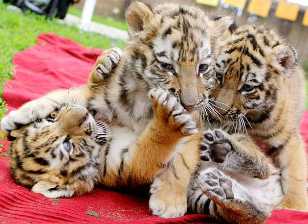 Siberian tiger cubs play at a private zoo in Abony, east of Budapest May 17, 2012. The cubs were born near Hamburg in Germany, but came to Hungary when they were only two and a half weeks old, after their mother became ill and could not feed them any more. They are six weeks old now and growing fast, fed on goats' milk and special tiger food. To match Reuters Life! HUNGARY-TIGERS/    Picture taken May 17, 2012. REUTERS/Stringer