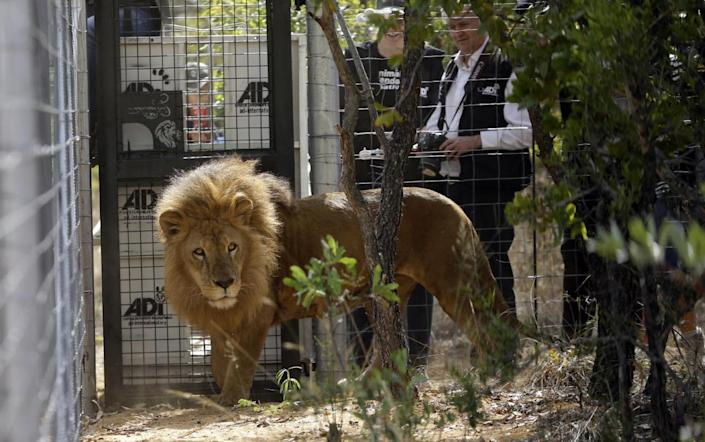 <p>A former circus lion is released into an enclosure as Tim Phillips, Animal Defenders International campaigns director, right, watches at Emoya Big Cat Sanctuary, in Vaalwater, South Africa, on May 1, 2016. <i>(Themba Hadebe/AP)</i></p>