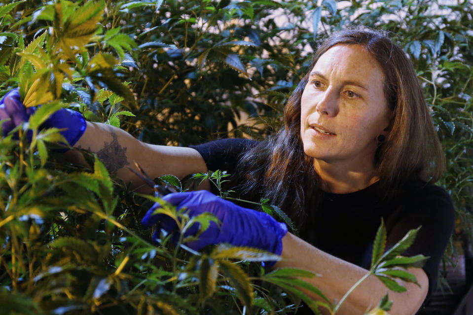 Jessica Baker takes a cutting of a plant at the Baker's marijuana nursery at Baker Medical, Wednesday, Feb. 26, 2020, in Oklahoma City. When voters in conservative Oklahoma approved medical marijuana in 2018, many thought the rollout would be ploddingly slow and burdened with bureaucracy. Instead, business is booming so much cannabis industry workers and entrepreneurs are moving to Oklahoma from states with more well-established pot cultures, like California, Colorado and Oregon. (AP Photo/Sue Ogrocki)