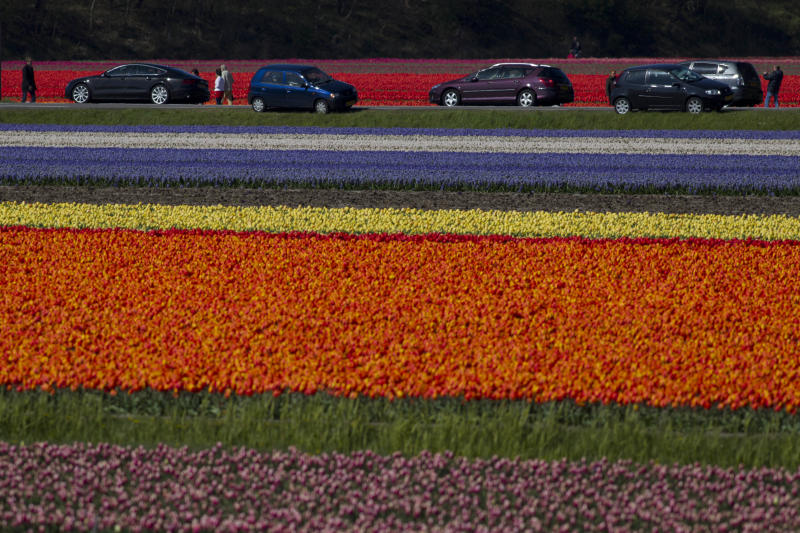 Tourists park their cars to take picture of fields of blossoming tulips and hyacinths near Noordwijk, western Netherlands, Sunday April 22, 2012.  Holland is the world's main producer of commercially sold tulip plants, producing as many as 3 billion bulbs annually, about two thirds are for export. (AP Photo/Peter Dejong)
