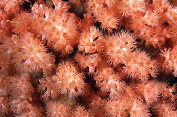 Gersemia lambi, or Lamb's soft coral, was found in British Columbia in about 40 feet (12 meters) of water.