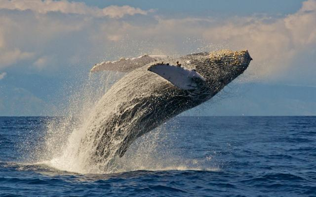 A humpback whale - Getty Images Contributor