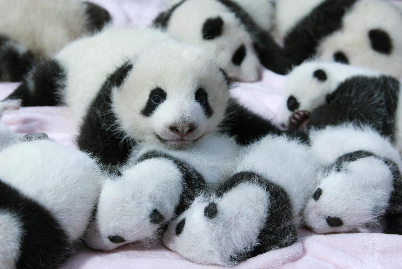 Giant panda cubs lie in a crib at Chengdu Research Base of Giant Panda Breeding in Chengdu, Sichuan province, September 23, 2013. Fourteen new joiners to the 128-giant-panda-family at the base were shown to the public on Monday, according to local media. REUTERS/China Daily (CHINA - Tags: SOCIETY ANIMALS TPX IMAGES OF THE DAY) CHINA OUT. NO COMMERCIAL OR EDITORIAL SALES IN CHINA