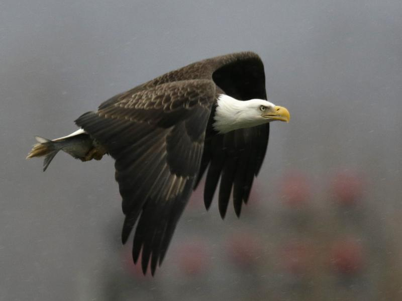 A bald eagle returns to its nest after catching a fish at the Conowingo Dam on the Susquehanna River in Maryland November 26, 2013. The eagles gather around the dam and grow in numbers towards year's end. REUTERS/Gary Cameron (UNITED STATES - Tags: ANIMALS SOCIETY ENVIRONMENT)