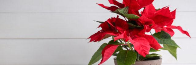Christmas flower poinsettia on white table.