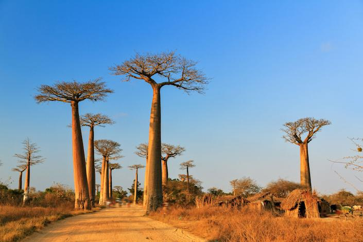 Baobab trees in Madagascar. (Photo: Getty Images/iStockphoto)
