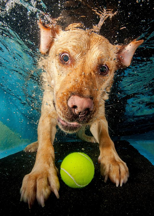 <p>A golden Labrador struggles to catch the submerged tennis ball. (Photo: Jonny Simpson-Lee/Caters News) </p>