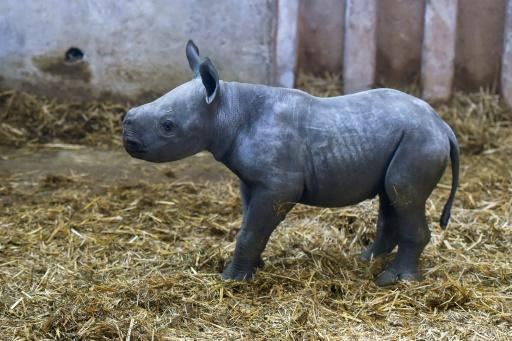 The black rhinoceros is classified as critically endangered
