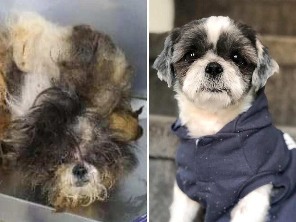 """<p>Prior to his astounding transformation, Truman was part of a criminal animal abuse case. The dog was brought to <a href=""""http://www.blue-tails.com/"""" rel=""""nofollow noopener"""" target=""""_blank"""" data-ylk=""""slk:Bluetails Pet Rescue"""" class=""""link rapid-noclick-resp"""">Bluetails Pet Rescue</a> in Marrero, Louisiana, where rescuers quickly realized how serious the situation was. Truman's body was surrounded by a shell of matted fur and feces that made it painful for the dog to move. The rescue removed 5 pounds of fur and retaught Truman how to walk, run and play. Luckily, Truman found a new home where he can do those three things all the time. </p>"""