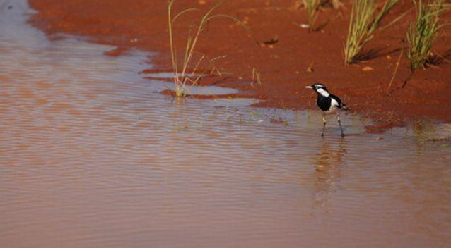 The bird was a peewee, also known as a magpie lark. Source: Getty Images / Stock image
