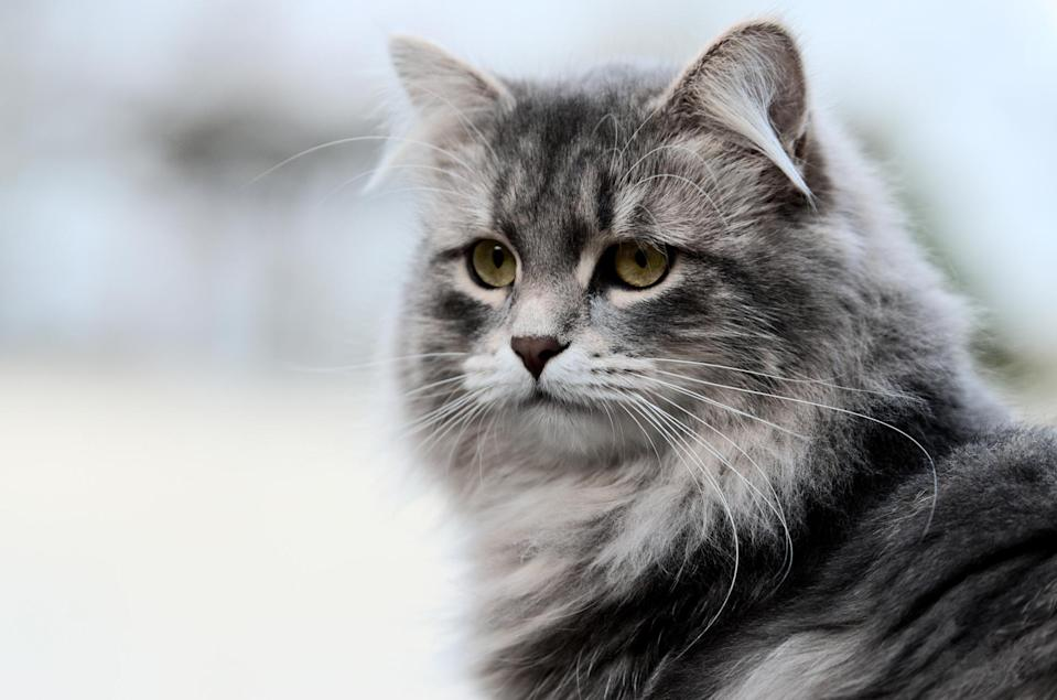 """<p>""""If anything is closest to being hypoallergenic, it's the Siberian,"""" reports Lyons. And even though the <a href=""""https://www.dailypaws.com/cats-kittens/cat-breeds/siberian"""" rel=""""nofollow noopener"""" target=""""_blank"""" data-ylk=""""slk:Siberian"""" class=""""link rapid-noclick-resp"""">Siberian</a> sports a relatively long and lush coat, it is still more hypoallergenic because it has lower levels of Fel d 1 protein in its saliva. Lyons says, """"People have noticed that specific Siberian cats do not elicit as much of an allergy response as other cats."""" Siberians are generally intelligent, affectionate, and playful.</p>"""